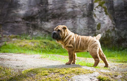 Shar Pei Puppy Stock Photos
