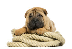Shar pei puppy (11 weeks old) lying on rope Stock Image