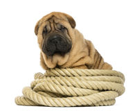 Shar pei puppy (11 weeks old) sitting on rope Stock Photography