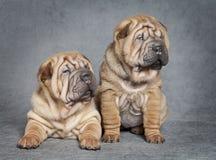 Shar-Pei puppyhonden Royalty-vrije Stock Foto's