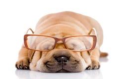 Shar Pei Schätzchenhund, fast ein Monat alt Stockbild