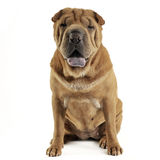Shar pei sitting in  white studio and looking into the camera. Shar pei sitting in the white studio and looking into the camera Stock Photos