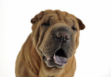 Shar pei sitting in the white studio and looking into the camera. Shar pei sitting in white studio and looking into the camera Stock Photos