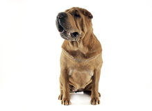 Shar pei sitting  in a the white studio and looking left. Shar pei sitting  in the white studio and looking left Royalty Free Stock Photos