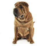 Shar pei sitting in the white studio and looking at right. Shar pei sitting in the white studio and looking right Stock Photo