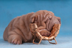 Shar-pei sleeping Royalty Free Stock Images