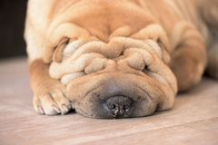 Shar Pei . sleeping on the floor in red color stock photo