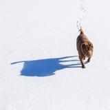 Shar pei som går på fältet Royaltyfri Fotografi