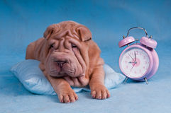Shar-Pei somnolent avec l'horloge d'alarme Photo stock