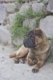 Shar Pei-straathond Royalty-vrije Stock Foto