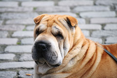 Shar-Pei on the street Stock Photography