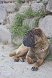 Shar Pei street dog Royalty Free Stock Photo