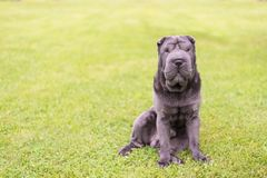 Shar Pei szczeniak na zielonej trawie zdjęcie royalty free