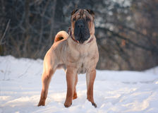 Shar Pei-tribune in de boswinter stock afbeelding