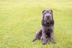 Shar Pei-Welpe auf grünem Gras lizenzfreies stockfoto