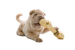 Shar-Pei Welpenhund mit einem Knochen stockbild