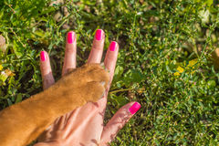 Shar Pei. Yellow dog paw and human hand Royalty Free Stock Photo