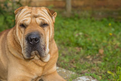 Shar Pei. Yellow dog paw and human hand Royalty Free Stock Photography