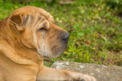Shar Pei. Yellow dog paw and human hand Royalty Free Stock Photos