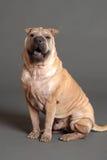 shar psi Chińczyka pei Zdjęcie Stock