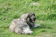 Shara mountain dog Royalty Free Stock Image