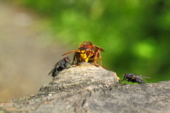 Share lunch. This Hornet, strong and beautiful insect, bees are much larger. Hunts for other insects, including bees. But sometimes likes to eat sweets. Huge Stock Images