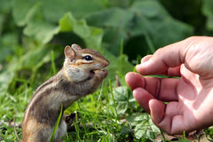 Shared Moment. Chipmunk standing and eating in front of outstretched hand that gave him food Royalty Free Stock Image