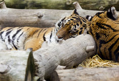 A Shared Nap. A closeup shot of tigers sleeping peacefully together at the zoo Stock Image
