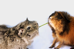 Sharing. Concept: two guinea pigs share a blade of grass Stock Photography