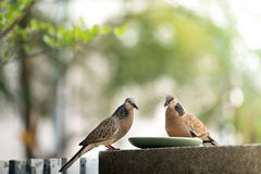 Sharing food to birds, two pigeons eating Stock Images