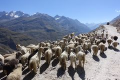 Livestock-mountain sheep and goats compliment the beautiful landscape on Himachal Pradesh roads, India. Mesmerising scenery from the bus approaching Himachal Royalty Free Stock Images
