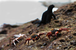 Sharing the Rock. Three sally light-foot crabs share this rock with a marine iguana Royalty Free Stock Photo