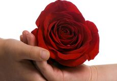 Sharing a rose. Two sisters cradle a single rose in their hands Royalty Free Stock Photography