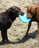 Sharing the toy. Two dogs share a freezby. Blue freezbe held by both Labrador dogs. It's on a sandy beach on a sunny day Royalty Free Stock Photo