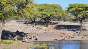 Sharing a watering hole in Namibia Africa Royalty Free Stock Photo