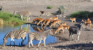 Sharing a watering hole in Namibia Africa Stock Image