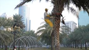 Sharjah, UAE - January 18, 2018: Man gardener using hand saw for sawing branches of palm tree. Sharjah, UAE - January 18, 2018: Arabian man gardener sitting on stock video