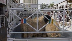 Sharjah, UAE - January, 2018: sheeps in cargo pickup truck in cattle market in Sharjah city UAE. Sheeps in farm pick up. Truck city animal market stock video