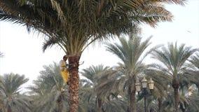 Sharjah, UAE - Styczeń 18, 2018: Mężczyzna pracownika ogrodowy piłowanie rozgałęzia się na zielonej palmie zbiory