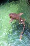 Shark 1. Shark under water surface, captured at Florida Stock Photos