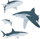 Shark. The various aspects of ground white sharks Royalty Free Stock Image