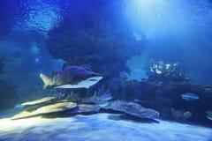 shark Στοκ Εικόνες