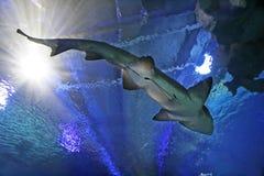 Free Shark Royalty Free Stock Photos - 1092688