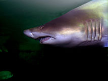 Shark. Approach showing its teeth Stock Images