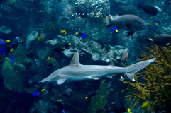 Shark. Swimming in a pacific ocean among other fish Stock Photos