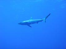 Shark. In the blue sea like flying Stock Photo