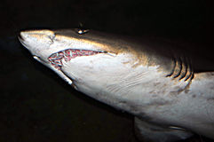 Shark. Head and mouth of a shark Royalty Free Stock Image
