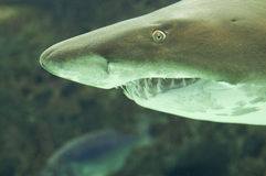 Shark. The portrait of shark in aquarium Royalty Free Stock Photo