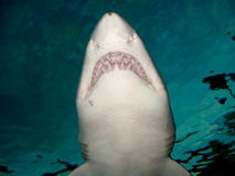 Shark. Image of a shark from below in an aquarium royalty free stock photography
