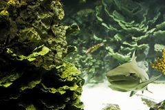 Shark. This picture was taken in Kuwait scientific center Aquarium to the sand shark behine the reef Stock Photos